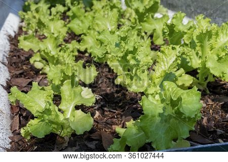 Grand Rapids Lettuce Grown On Soil Ground In Organic Farm Background For Food Healthy Vegetables Sal
