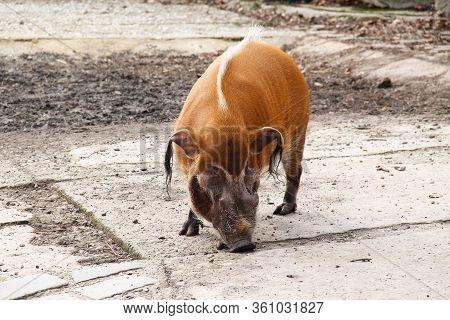 Big Male Red River Hog (potamochoerus Porcus, Bush Pig) In Outdoor Enclosure