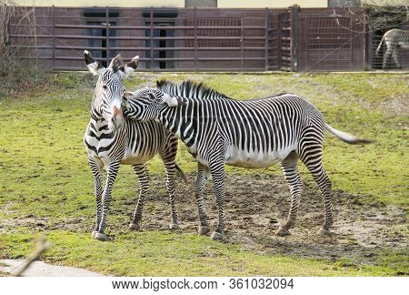 Two Grevy´s Zebras (equus Grevyi) In The Outdoor Enclosure In The Zoo, One Of Them Gently Biting The
