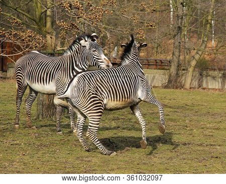 Two Grevy´s Zebras (equus Grevyi) In The Outdoor Enclosure In The Zoo, Fighting Over Hierarchy In Th