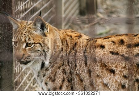 Captive Eurasian Lynx Behind The Blurred Bars In The Zoo