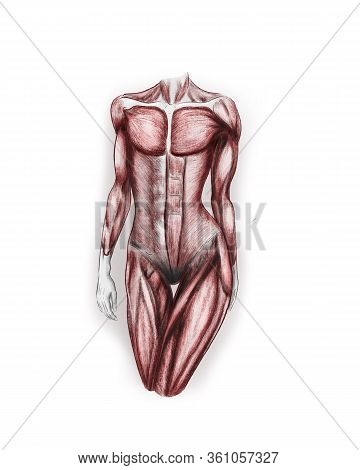 Illustration Of Anatomy Of Female Torso Muscles