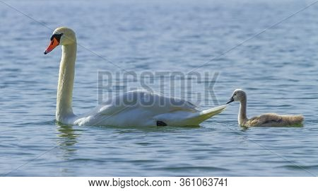 Mute Swan And Cygnet Floating On The Water By Day On Lake Leman, Geneva, Switzerland