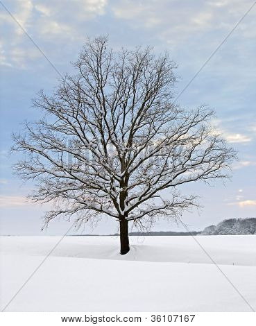 Winter Tree At Evening Time