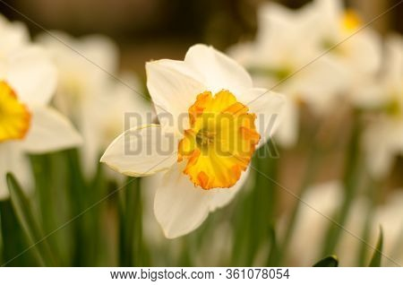 Flowering Daffodil. Bouquet Of Flowers On A Background Of Green Leaves. Spring Flowers In The Garden