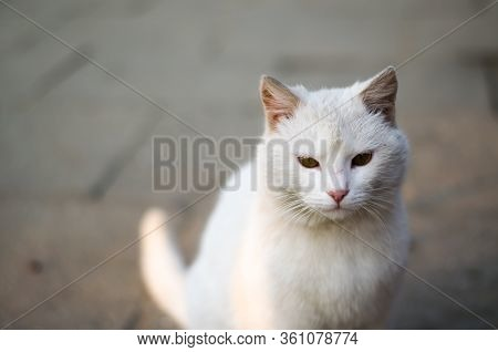 White Cat. The Rays Of The Sun Shine On A Street Cat. White Street Cat With Yellow Eyes. Cat Portrai