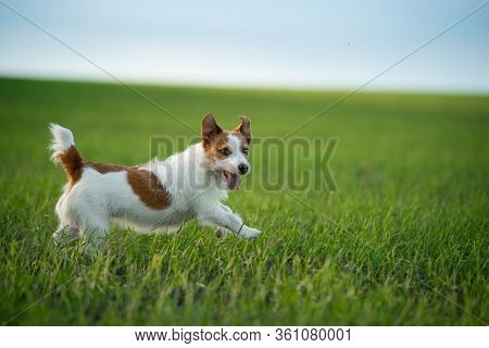 The Dog Runs To The Field. Pet On The Nature.