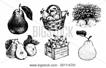 Pears In A Basket, Pear In A Box, Pear A Twig , Half An Pear, An Pear With A Leaf, Pearstree. Vector