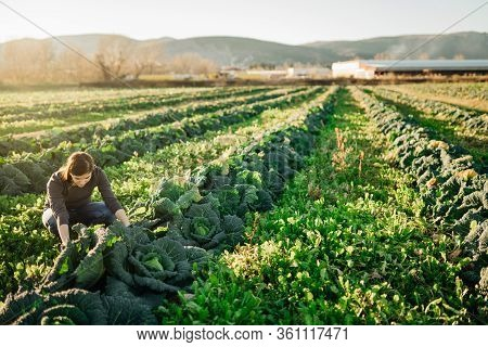 Woman Farmer Agronomist Inspecting Cabbage Crops Growing In The Farm Field.vegetable Farming.sustain