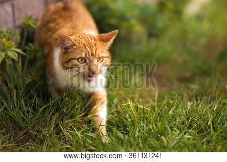 Red Cat With Yellow Eyes Meowing In Green Grass In Spring Summer. Ginger Red And White Cat Walking O