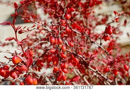 Bunch Of Red Barberries On A Thorny Branch In The Sunlight
