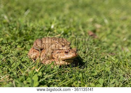 Pair Of Toads In The Grass