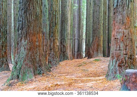 Redwood Forest Trees  Tall And Straight In The Otways Redwoods