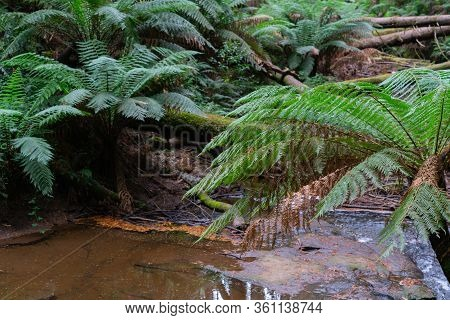 Natural Pond On Forest Floor With Leaf Litter Broken Trees And Fern Fronds The Otway Redwood Forest.