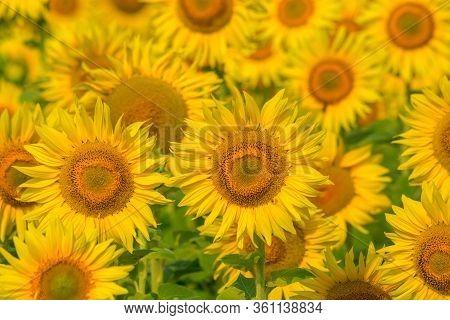 Sunflower Field At Sunset. Filtered Instagram Effect