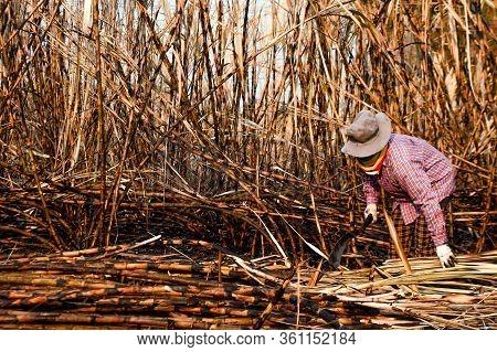 Sugarcane Farmers In Sugar Cane Field, Worker In Burn Sugarcane Plantation In The Harvest Season, Su