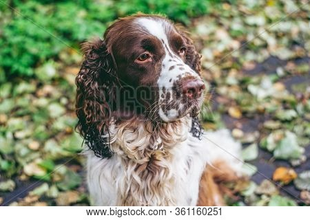 Dog Bread English Springer Spaniel Sits In Autumn Forest. Beautiful Brown And White Dog Hunter Compa