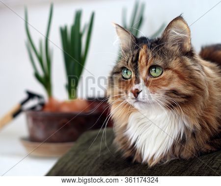 Beautiful Old Domestic Cat With Green, Smart Eyes. Three-color Cat's Hair: White, Red And Black