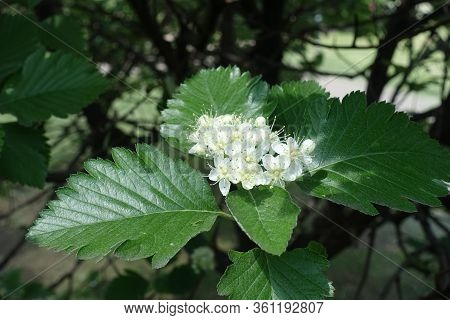 Blossom Of Sorbus Aria Tree In Mid May