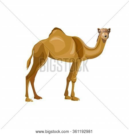 Dromedary, One-humped Camel. Pack Animal. Vector Image