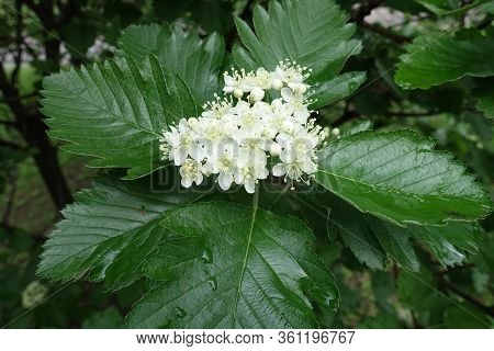 Closeup Of White Flowers Of Sorbus Aria In May