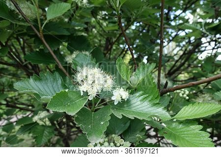 Cluster Of White Flowers Of Sorbus Aria In Mid May