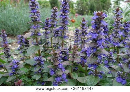 Close Shot Of Purple Flowers Of Ajuga Reptans In May