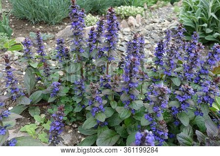 Close View Of Purple Flowers Of Ajuga Reptans In May