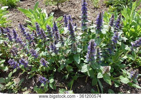 Flowering Ajuga Reptans In The Garden In Spring