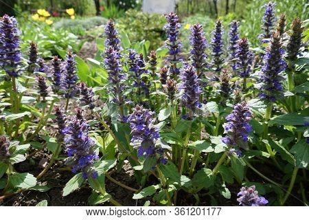 Purple Flowers Of Ajuga Reptans In May