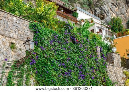 Clambering Plant On The Wall. Nature. Positano