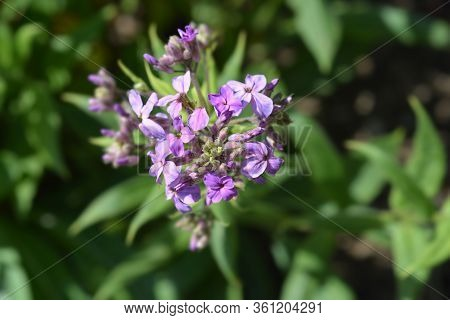 Dames Rocket Flower - Latin Name - Hesperis Matronalis