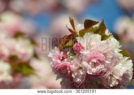 Spring blossoms close-up in springtime