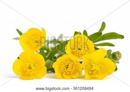 Woolly Buttercup Flowers Isolated On White Background
