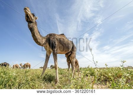 Herd Of Dromedary Camels Grassing In Morocco, Africa