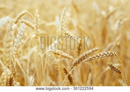 Gold Ears Of Wheat In Warm Sunlight. Wheat Field In Sunset Light. Autumn Harvest Of Grain Crops. Rur
