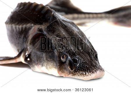 Sterlet Fish On White Background