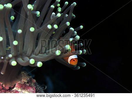 False Clown Anemonefish In Anemone Cebu Philippines