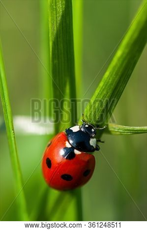 Red Ladybug On A Green Grass Leaf On A Sunny May Day. Coccinellidae Is A Widespread Family Of Small