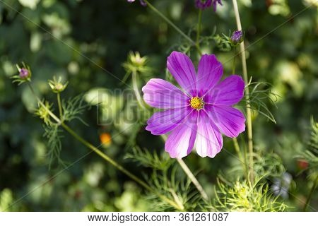 Bright Summer Floral Natural Background. One Magenta Flower Cosmos On A Blurred Green Background. Ga