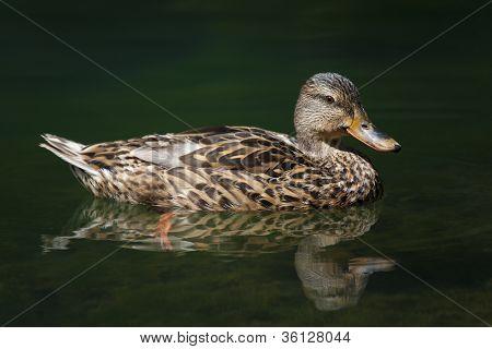 Duck, Ebro River