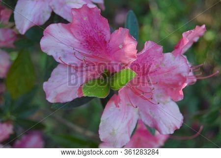 Closeup Of Light  Pink Flower In Bloom