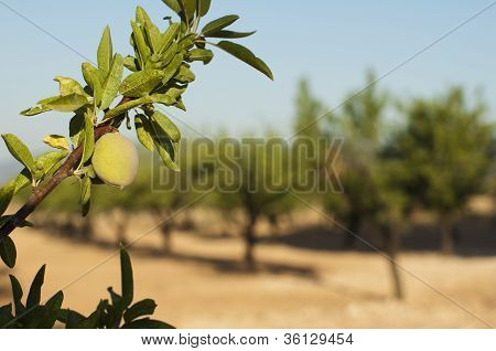 Almond Fruit On The Branch