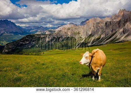 Alpine Mountain cows grazing on an alpine pasture in the Alps in summer