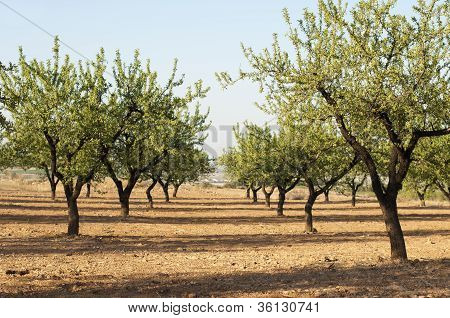 Almond plantation trees and blue sky background poster