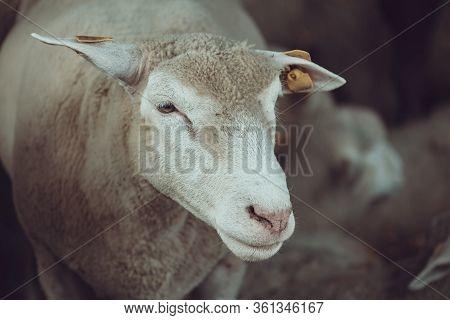 Ile De France Sheep Flock In Pen On Livestock Farm, Domestic Animals Husbandry Concept
