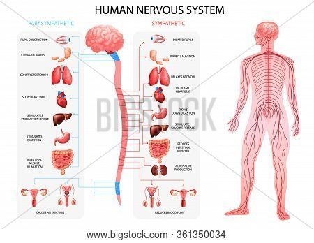 Human Body Nervous System Sympathetic Parasympathetic Charts With Realistic  Organs Depiction And An