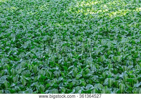 Detailed View Of Lake With Common Water Hyacinths, Aquatic Plants, On The Bank...