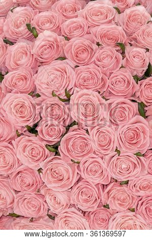 A Bed Of Pale Pink Roses  For Background Or Gift Wrapping. Abstract Textured Pink Roses Floral Backd