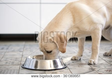 Side View Of Labrador Dog Eating From Bowl